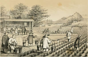 Culture and preparation of tea in China
