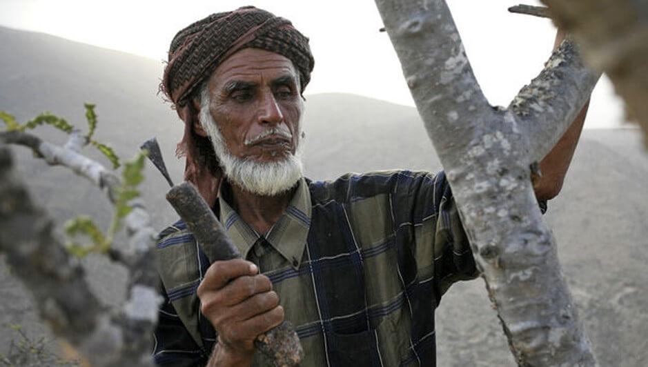 Yemeni Frankincense Gatherer