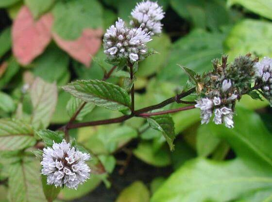 Peppermint herb(Mentha piperita)
